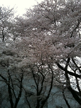 100404_桜_1083.jpg